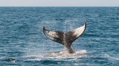 coda di balena in mezzo al mare